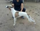 格力幼犬阿根廷杜高犬
