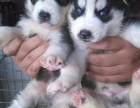 三火蓝眼哈士奇幼犬纯种哈士奇雪橇犬包健康可上门挑选