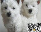 纯种西高地狗狗出售