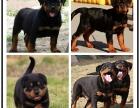 纯种防暴护卫犬罗威纳幼犬 凶猛忠诚健康保障