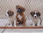 杭州那里有圣伯纳犬卖 杭州圣伯纳犬价格 杭州圣伯纳犬多少钱