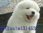 各种萌各种卡哇伊 高品质赛级萨摩耶幼犬公母均有出售