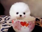 本地犬舍出售大眼睛纯种博美幼犬 茶杯体博美多少钱