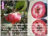 苏州秦脆苹果苗 森林光辉苹果苗 欢迎新来客户来基地考察