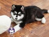 南宁出售纯种阿拉斯加雪橇犬阿拉斯加幼犬巨型阿拉斯加宠物狗狗