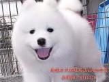 哪里买狗最好深圳萨摩多少钱深圳哪里有卖纯种萨摩犬