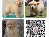 三明全国发货视频看狗纯种优质保健康