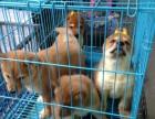 纯日系柴犬 双血统后代 赛级品质 签合同保品质健康
