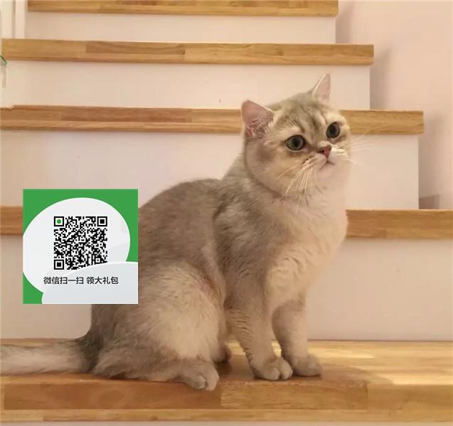 楚雄哪里有蓝猫出售 楚雄蓝猫价格 楚雄宠物狗出售信息
