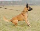 广东中山哪里出售三个月马犬,马犬价格多少,怎么训练马犬