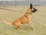佛山血统小马犬多少钱,怎么训练马犬幼崽,成年马犬价格多少