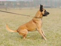 怎么训练马犬幼崽,多少钱一只马犬幼犬,成年马犬价格多少