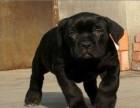 赛级血统卡斯罗,自家犬舍繁殖,保健康包纯种,可送货