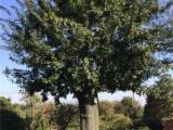 宝鸡10公分樱花树基地专业供应商