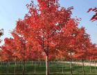 徐州15公分美国红枫树的价格