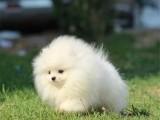 济南 完美品相 公母齐全 签协议纯种健康 博美犬