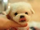 西安狗狗之家长期出售高品质 泰迪 健康质保