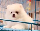 上门700 精品博美犬 协议有保障 公母多只可选