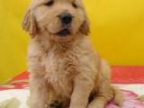 揭阳狗场解散 金毛犬等二十多种宠物狗 500元 起售