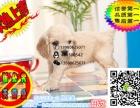 上海哪里有卖可卡的犬舍 好一点的可卡要多少钱