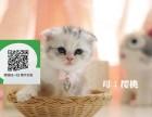 绵阳在哪里卖健康纯种宠物猫 绵阳哪里出售折耳猫