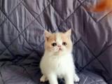 重庆璧山纯种加菲猫放心购买