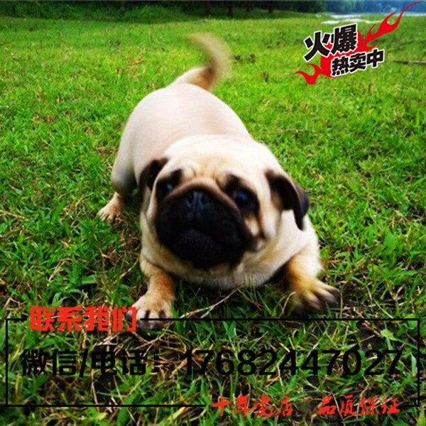 宠物狗巴哥犬出售 纯种巴哥幼犬 保证健康纯种