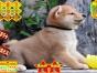 高品质柴犬萌宠 基地直销 保纯种健康 欢迎实地
