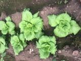 出售早春温室大棚白菜.