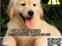 大头大骨板金毛 纯种赛级金毛犬出售 健康纯种保障