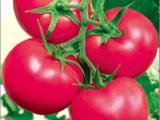 山东品种好的番茄种子供应,河南番茄种子