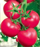 沂阳番茄种子_买番茄种子选哪家好