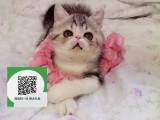 杭州哪里卖加菲猫 加菲猫价格 加菲猫哪里有卖