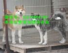 重庆柴犬买狗的地方 重庆柴犬图片价格 重庆柴犬买狗的地方