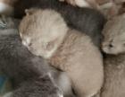 家养纯种英短蓝白猫咪接受预定
