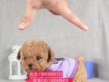 市出售泰迪犬幼犬 公母都有 可看视频 七天包退换