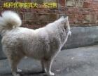 42天的银狐犬(公),价格见描述
