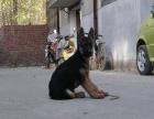 牧羊犬一只多少钱 哪里可以买到德国牧羊犬