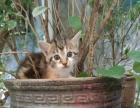 爱心转让,出生两个月的小猫咪是最好的抚养时间哦
