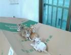六只三个月大抓鼠小猫,等好主人带回家