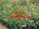 潍坊专业的月季提供商|大花月季种植基地