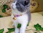宠物猫英短蓝猫纯种合肥本地猫舍支持淘宝 双飞猫宠物乐园