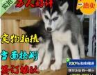 专业繁殖出售帅气纯种哈士奇西伯利亚雪橇犬,保健康