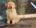 出售金毛巡回犬 大头宽嘴纯种健康黄金血统金毛幼犬