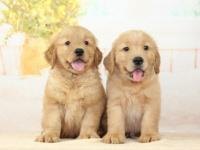 深圳本地长期出售纯种金毛幼犬 上门当面挑选 死亡包退换