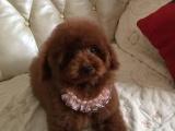 狗场里的泰迪犬能不能养活 价格贵不贵