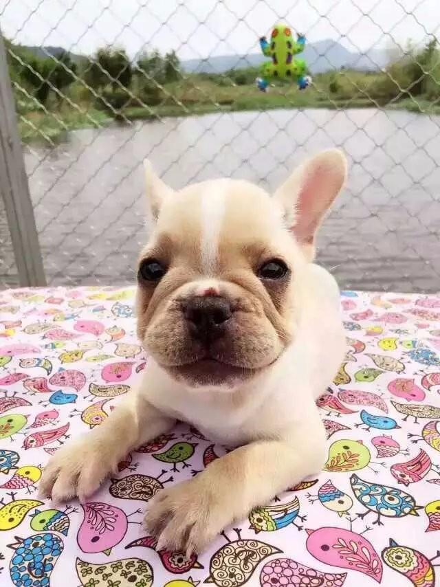 长期繁殖高品质法国斗牛犬 各类纯种名犬