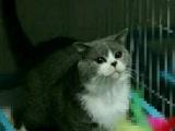 出售自家繁殖英短蓝猫幼猫赛级子代血统纯包子脸地毯毛橘眼