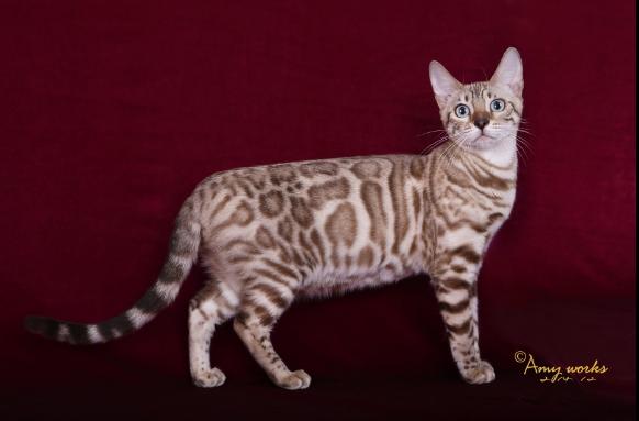 哪里有正规猫舍 豹猫养殖 豹猫幼猫转让