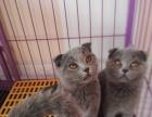 家养英国短毛猫,蓝色,小折耳